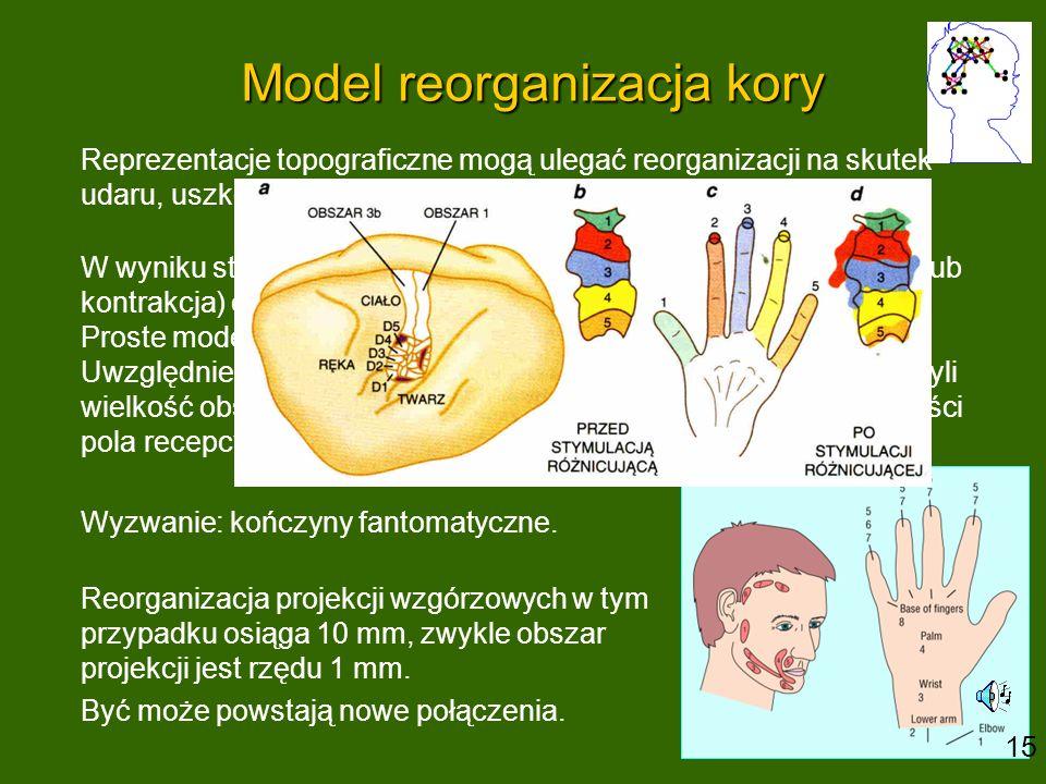 Model reorganizacja kory Reprezentacje topograficzne mogą ulegać reorganizacji na skutek udaru, uszkodzenia nerwu lub amputacji części ciała. W wyniku