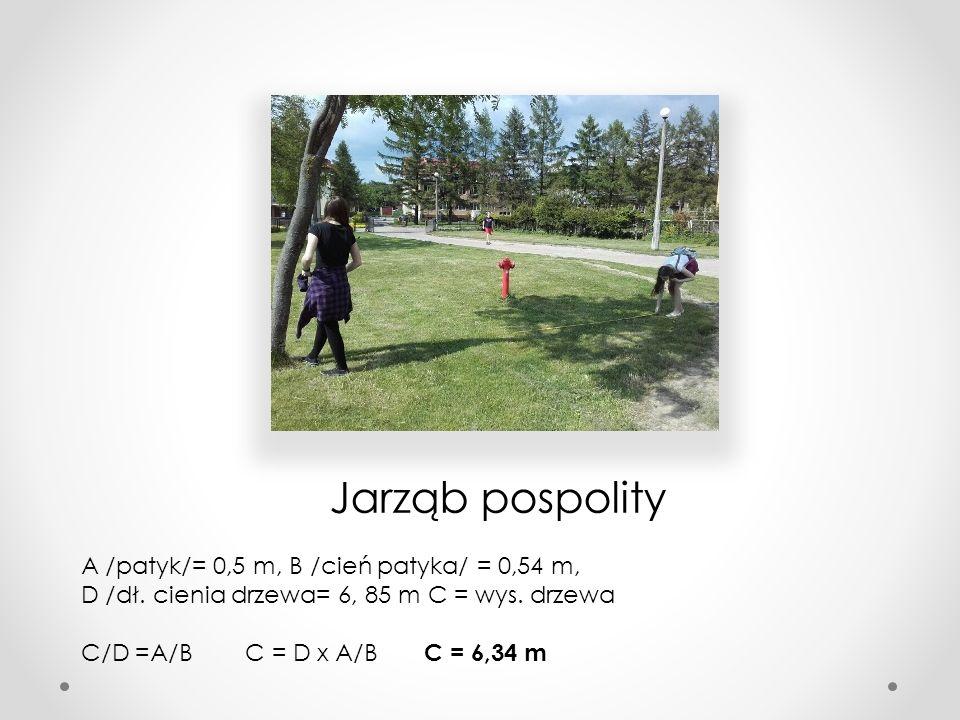 Jarząb pospolity A /patyk/= 0,5 m, B /cień patyka/ = 0,54 m, D /dł. cienia drzewa= 6, 85 m C = wys. drzewa C/D =A/B C = D x A/B C = 6,34 m