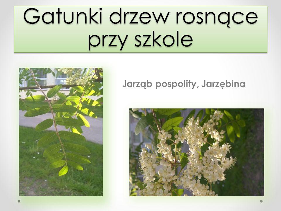 Gatunki drzew rosnące przy szkole Jarząb pospolity, Jarzębina