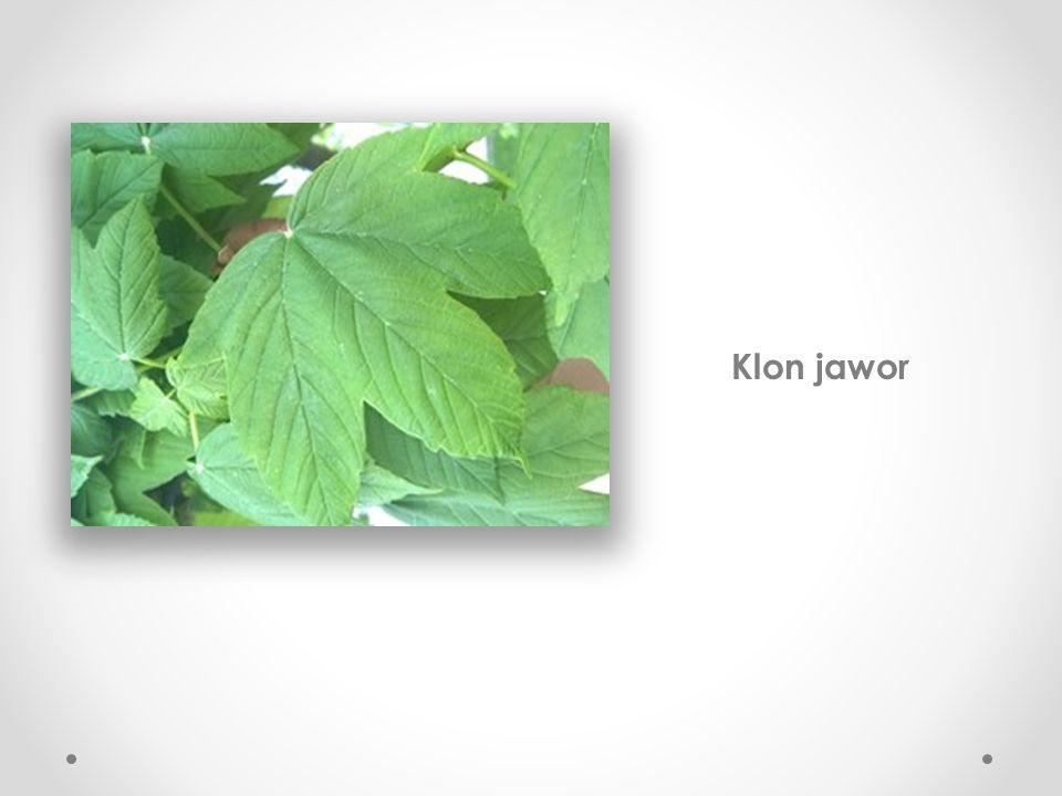Lipa szerokolistna Do oznaczania posłużył nam strona: http://drzewa.nk4.netmark.pl