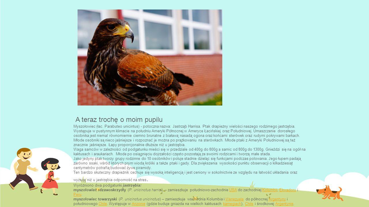 A teraz trochę o moim pupilu Myszołowiec (łac. Parabuteo unicintus) - potoczna nazwa: Jastrząb Harrisa. Ptak drapieżny wielości naszego rodzimego jast