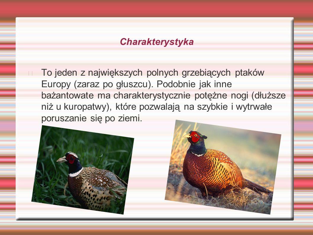 Charakterystyka To jeden z największych polnych grzebiących ptaków Europy (zaraz po głuszcu). Podobnie jak inne bażantowate ma charakterystycznie potę