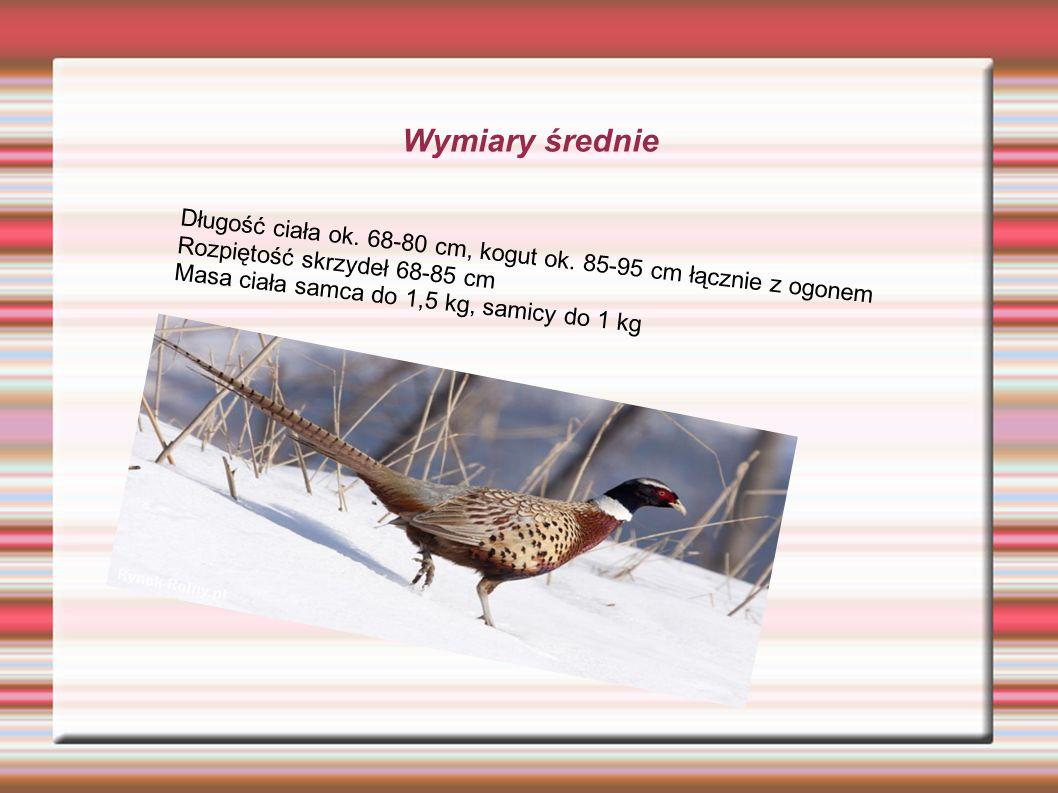 Wymiary średnie Długość ciała ok. 68-80 cm, kogut ok. 85-95 cm łącznie z ogonem Rozpiętość skrzydeł 68-85 cm Masa ciała samca do 1,5 kg, samicy do 1 k