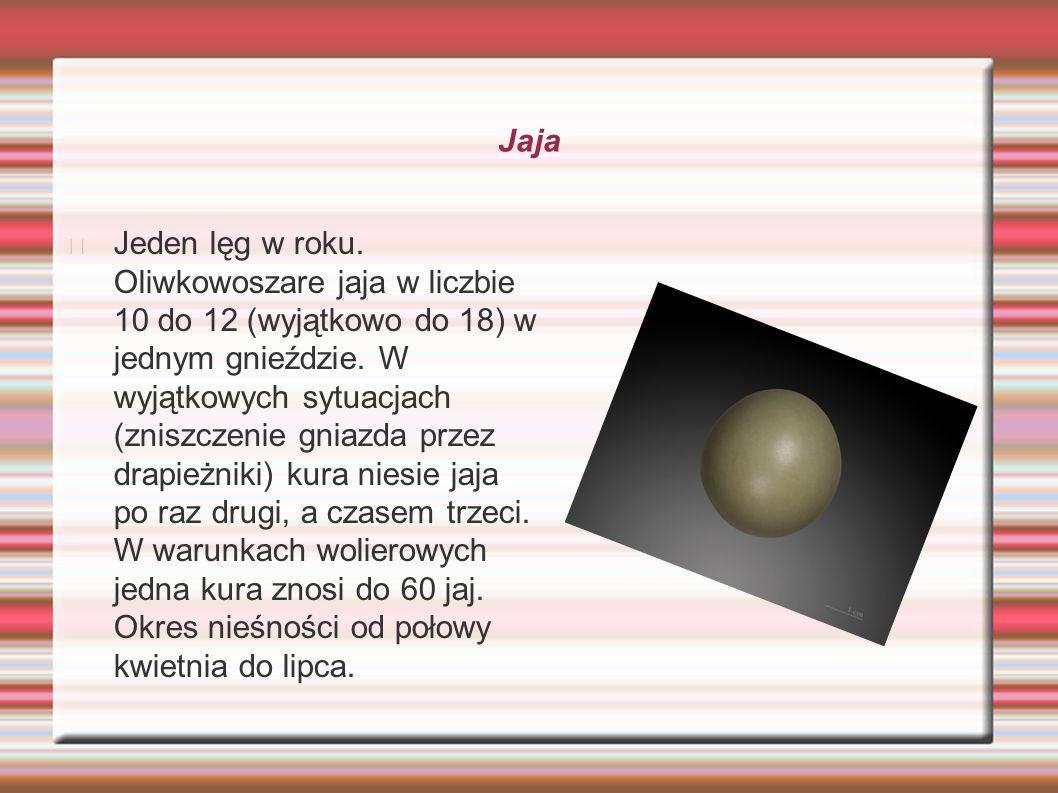 Jaja Jeden lęg w roku. Oliwkowoszare jaja w liczbie 10 do 12 (wyjątkowo do 18) w jednym gnieździe. W wyjątkowych sytuacjach (zniszczenie gniazda przez