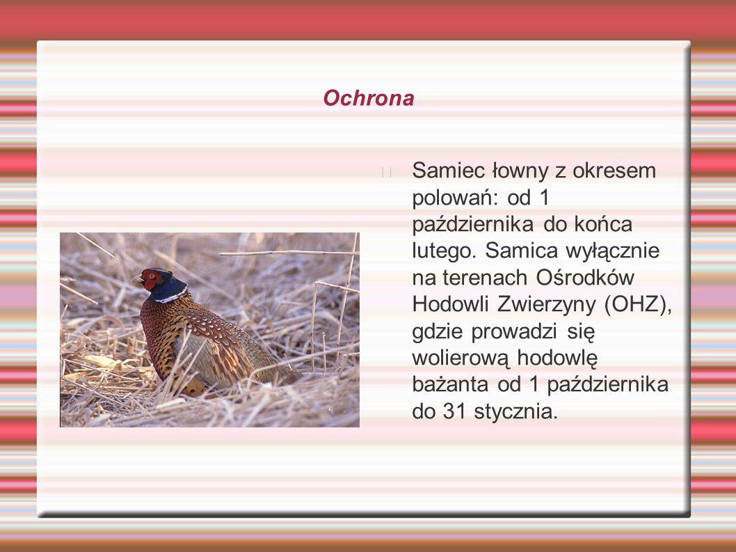 Ochrona Samiec łowny z okresem polowań: od 1 października do końca lutego. Samica wyłącznie na terenach Ośrodków Hodowli Zwierzyny (OHZ), gdzie prowad