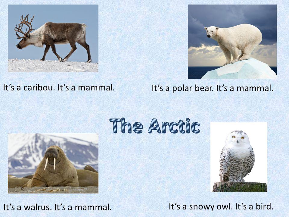 has got antlers.Polar bear