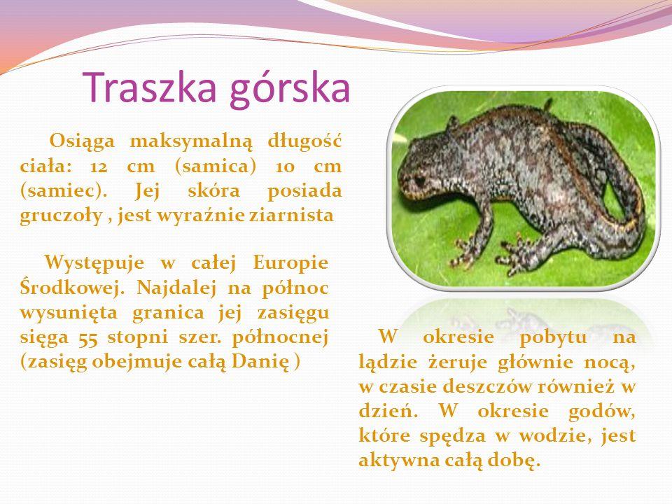 Traszka górska Osiąga maksymalną długość ciała: 12 cm (samica) 10 cm (samiec).