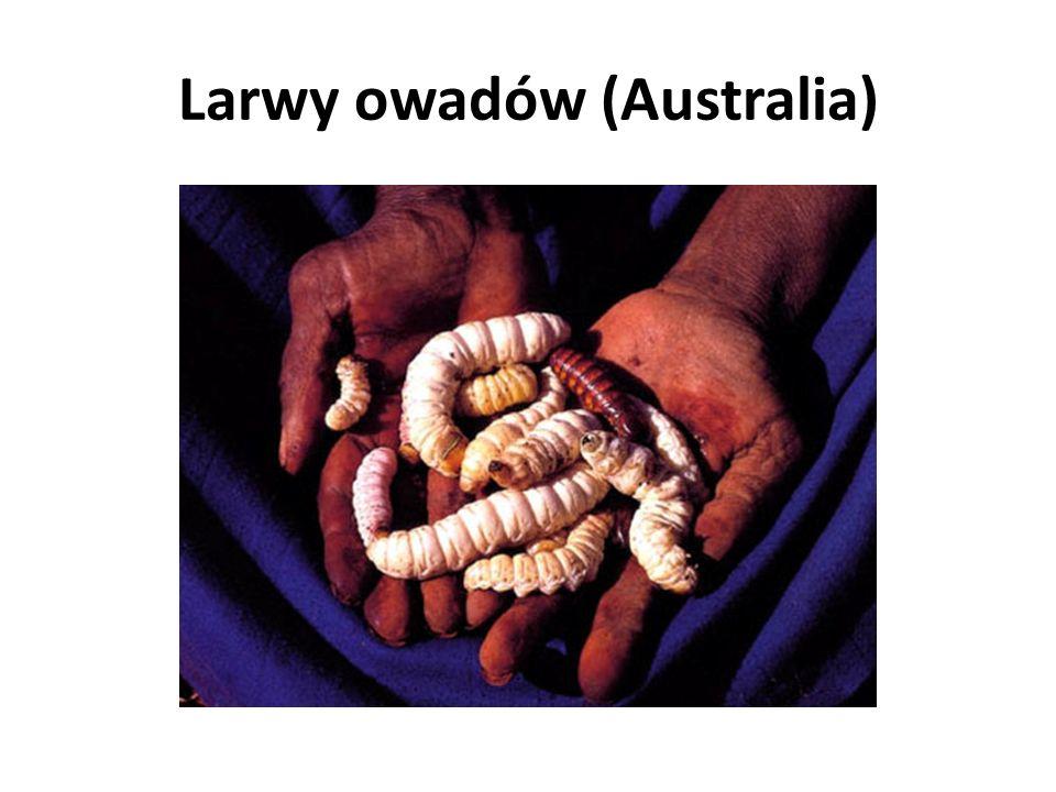 Larwy owadów (Australia)