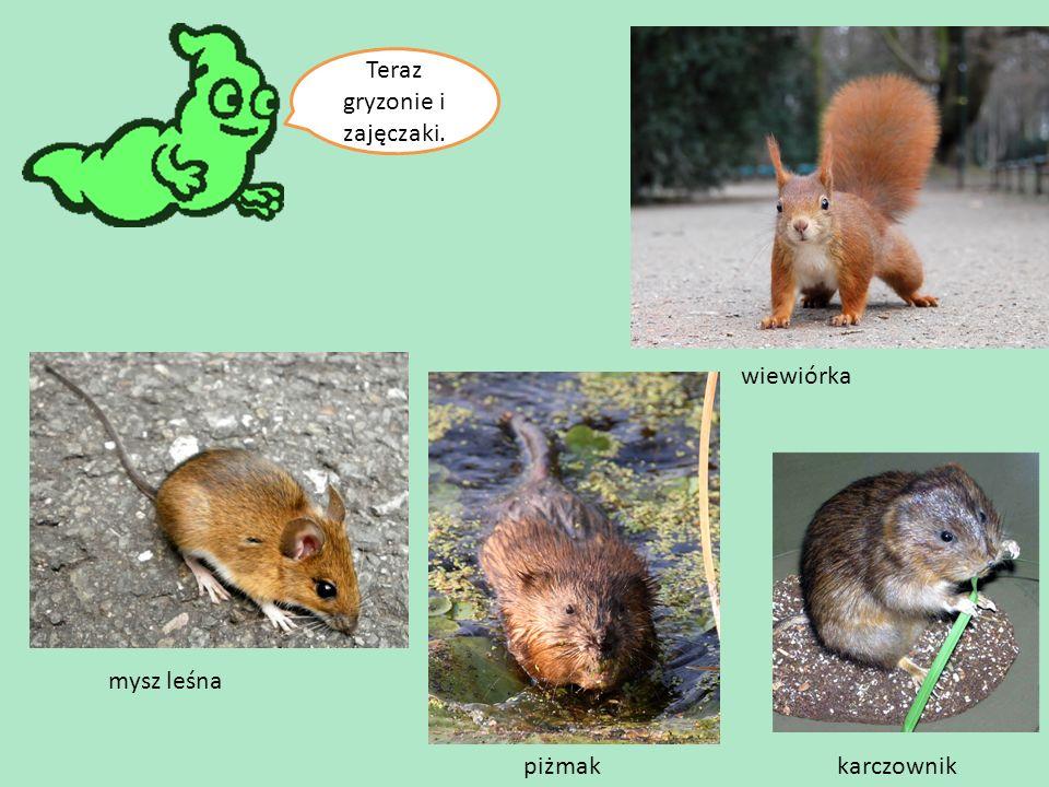 Teraz gryzonie i zajęczaki. piżmak wiewiórka mysz leśna karczownik