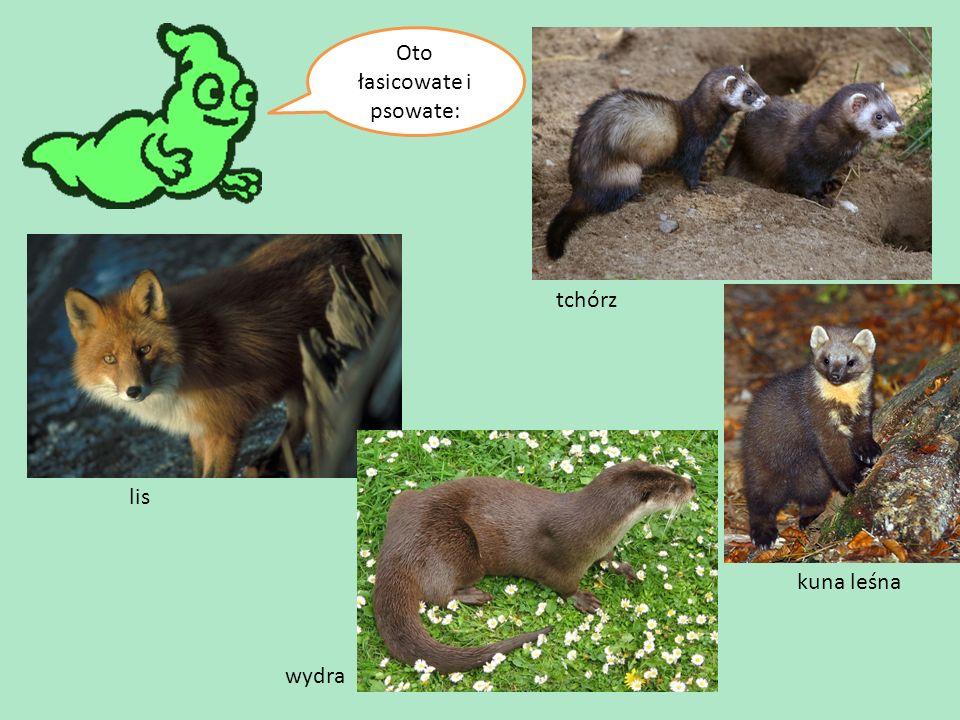 Oto łasicowate i psowate: tchórz kuna leśna wydra lis