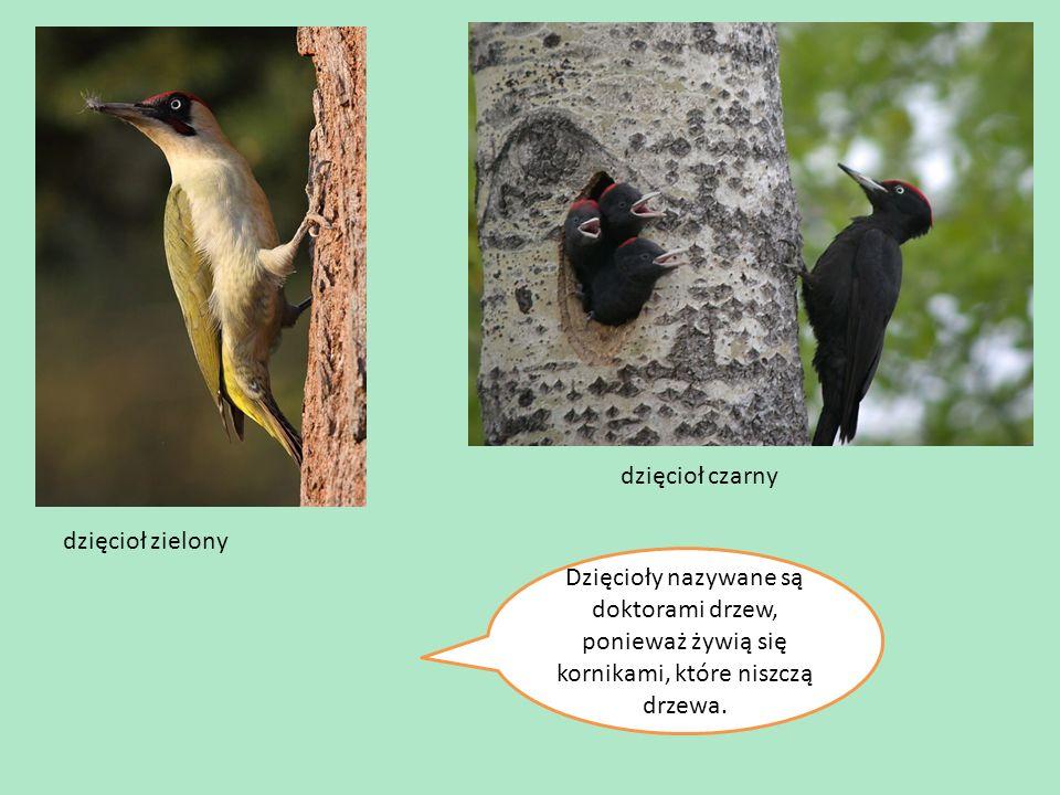 dzięcioł zielony dzięcioł czarny Dzięcioły nazywane są doktorami drzew, ponieważ żywią się kornikami, które niszczą drzewa.