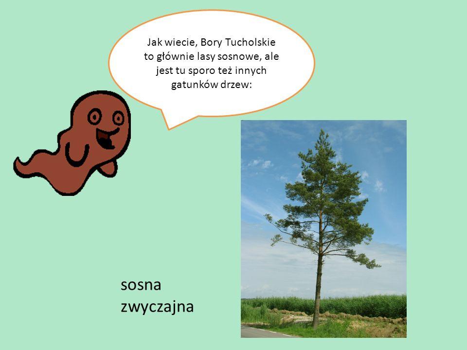 Jak wiecie, Bory Tucholskie to głównie lasy sosnowe, ale jest tu sporo też innych gatunków drzew: sosna zwyczajna
