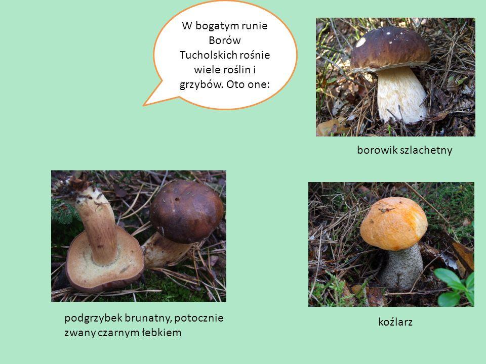 W bogatym runie Borów Tucholskich rośnie wiele roślin i grzybów.