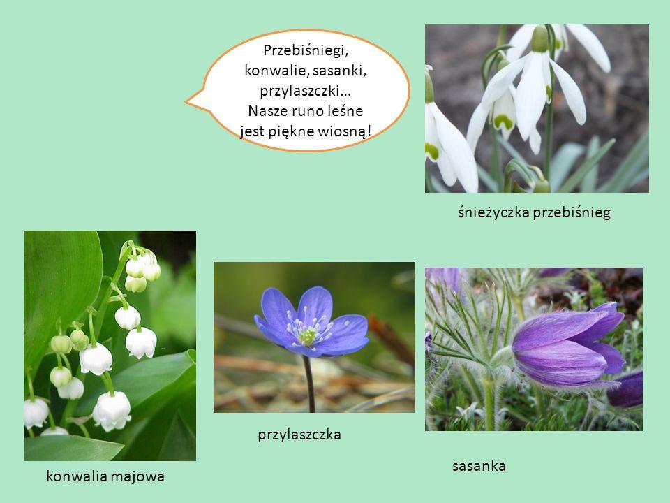 Mamy tu też mnóstwo pięknych kwiatków… Przebiśniegi, konwalie, sasanki, przylaszczki… Nasze runo leśne jest piękne wiosną.