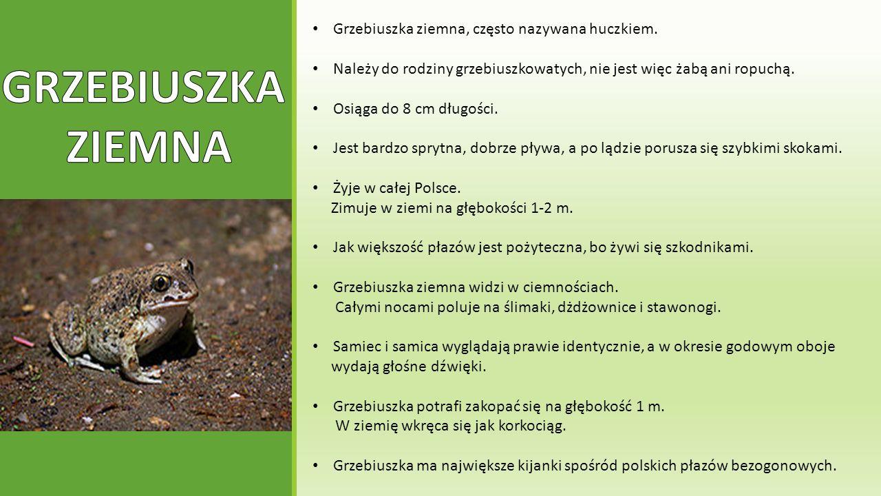 Grzebiuszka ziemna, często nazywana huczkiem. Należy do rodziny grzebiuszkowatych, nie jest więc żabą ani ropuchą. Osiąga do 8 cm długości. Jest bardz