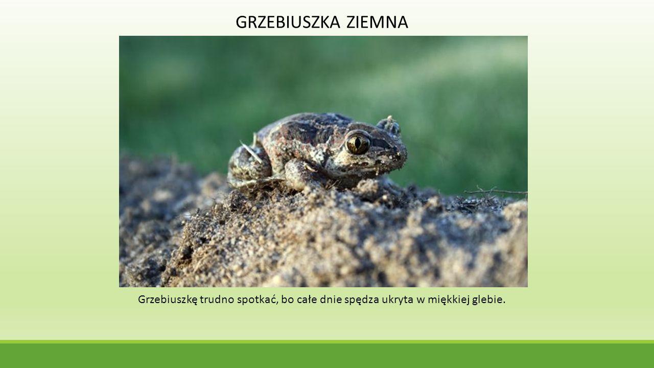 GRZEBIUSZKA ZIEMNA Grzebiuszkę trudno spotkać, bo całe dnie spędza ukryta w miękkiej glebie.