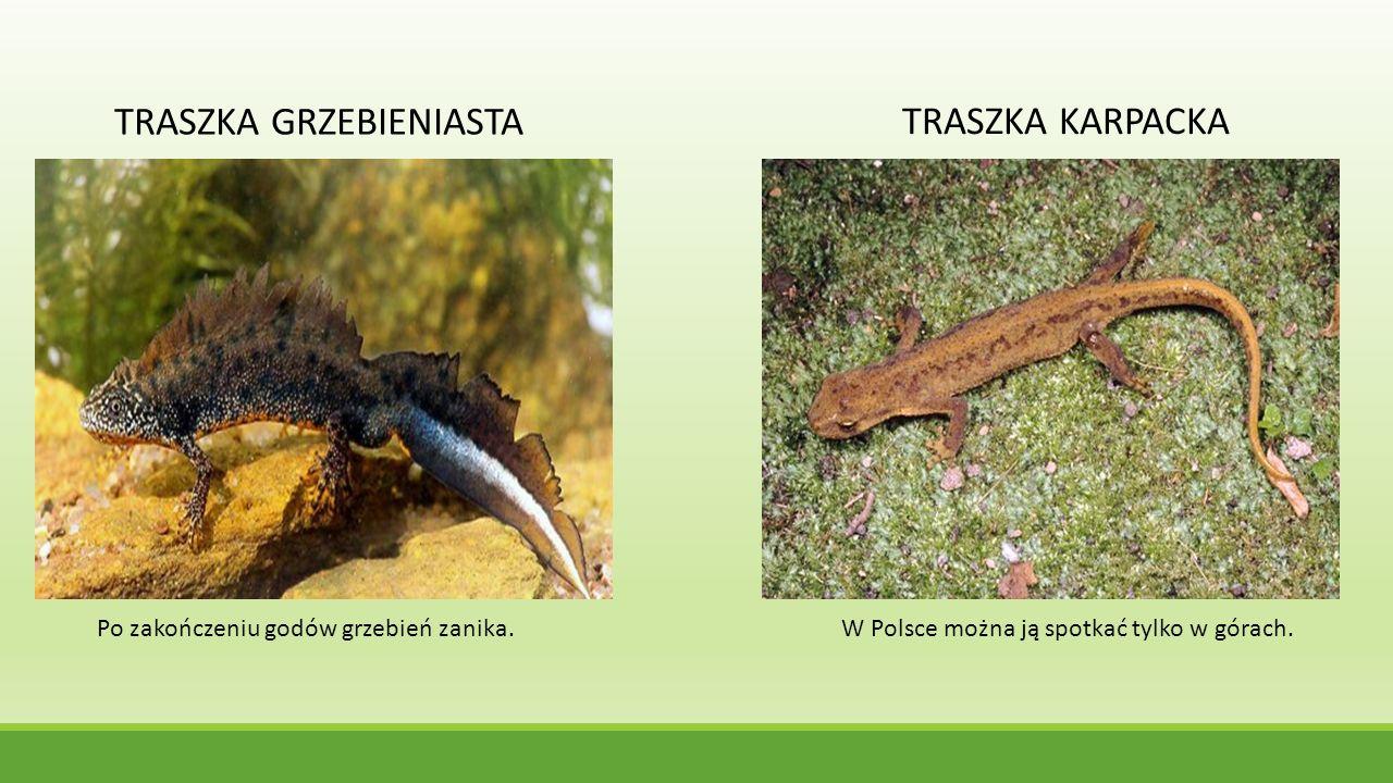 TRASZKA KARPACKA TRASZKA GRZEBIENIASTA Po zakończeniu godów grzebień zanika.W Polsce można ją spotkać tylko w górach.