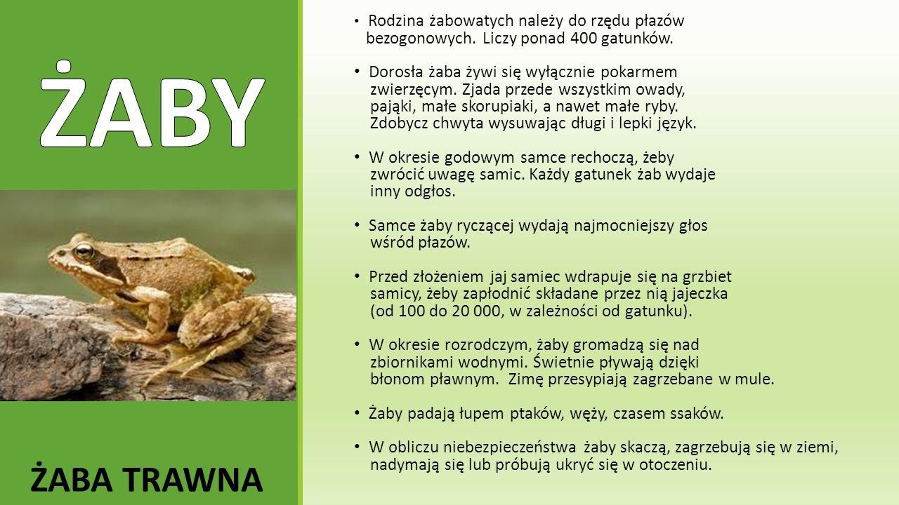 Rodzina żabowatych należy do rzędu płazów bezogonowych. Liczy ponad 400 gatunków. Dorosła żaba żywi się wyłącznie pokarmem zwierzęcym. Zjada przede ws