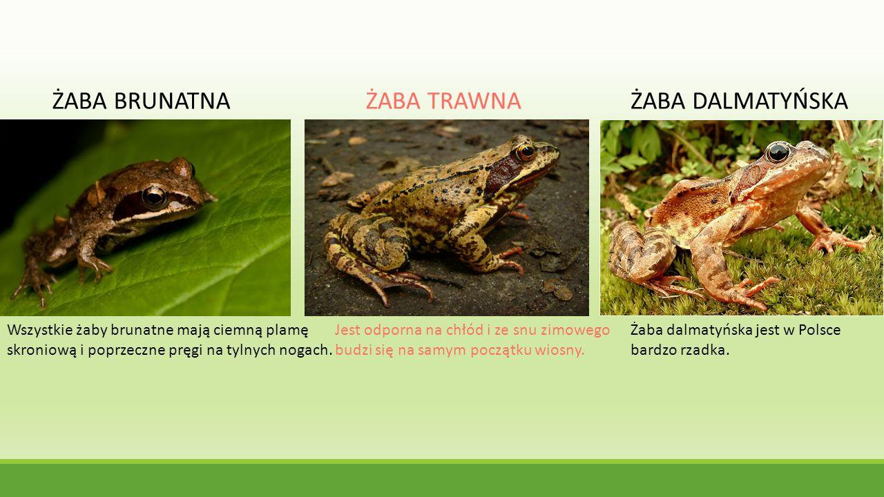 ŻABA BRUNATNAŻABA TRAWNAŻABA DALMATYŃSKA Wszystkie żaby brunatne mają ciemną plamę skroniową i poprzeczne pręgi na tylnych nogach. Jest odporna na chł