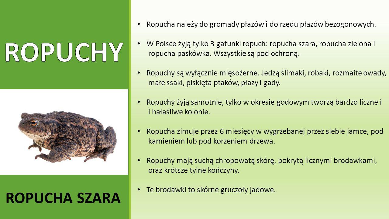 ROPUCHA SZARA Ropucha należy do gromady płazów i do rzędu płazów bezogonowych. W Polsce żyją tylko 3 gatunki ropuch: ropucha szara, ropucha zielona i