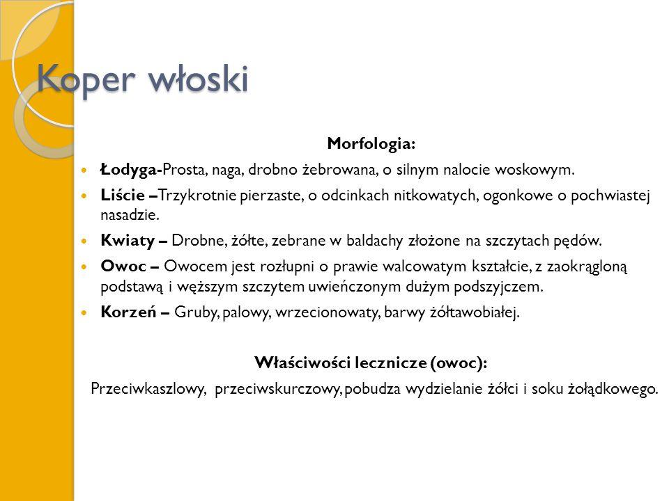 Koper włoski Morfologia: Łodyga-Prosta, naga, drobno żebrowana, o silnym nalocie woskowym. Liście –Trzykrotnie pierzaste, o odcinkach nitkowatych, ogo
