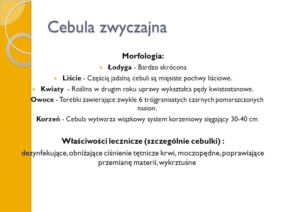 Cebula zwyczajna Morfologia: Łodyga - Bardzo skrócona Liście - Częścią jadalną cebuli są mięsiste pochwy liściowe. Kwiaty - Roślina w drugim roku upra