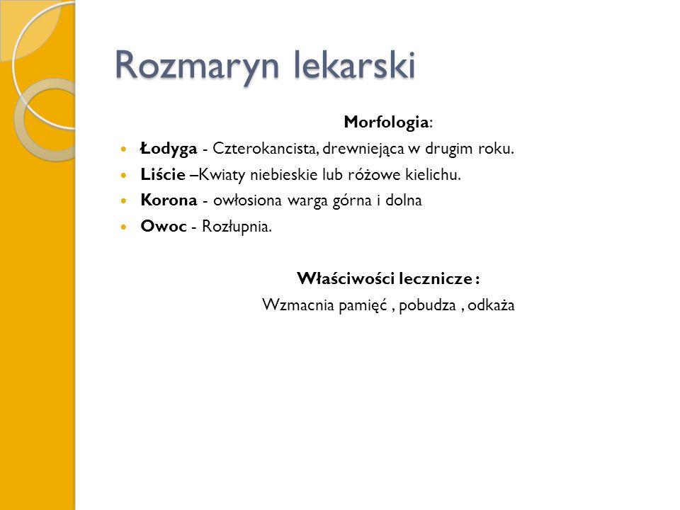 Rozmaryn lekarski Morfologia: Łodyga - Czterokancista, drewniejąca w drugim roku.