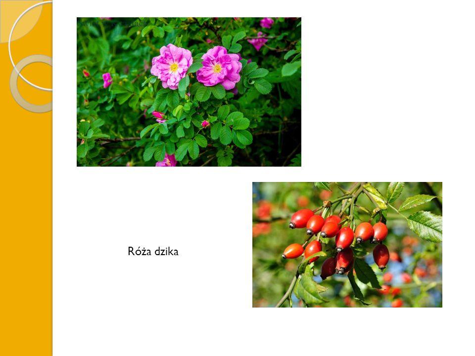 Róża dzika