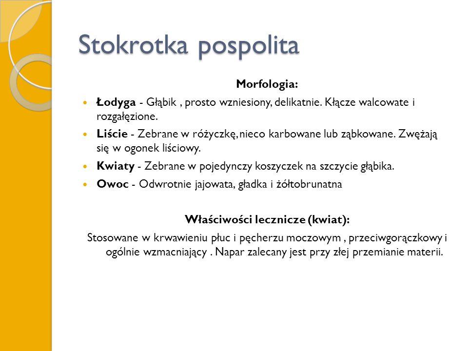 Stokrotka pospolita Morfologia: Łodyga - Głąbik, prosto wzniesiony, delikatnie. Kłącze walcowate i rozgałęzione. Liście - Zebrane w różyczkę, nieco ka
