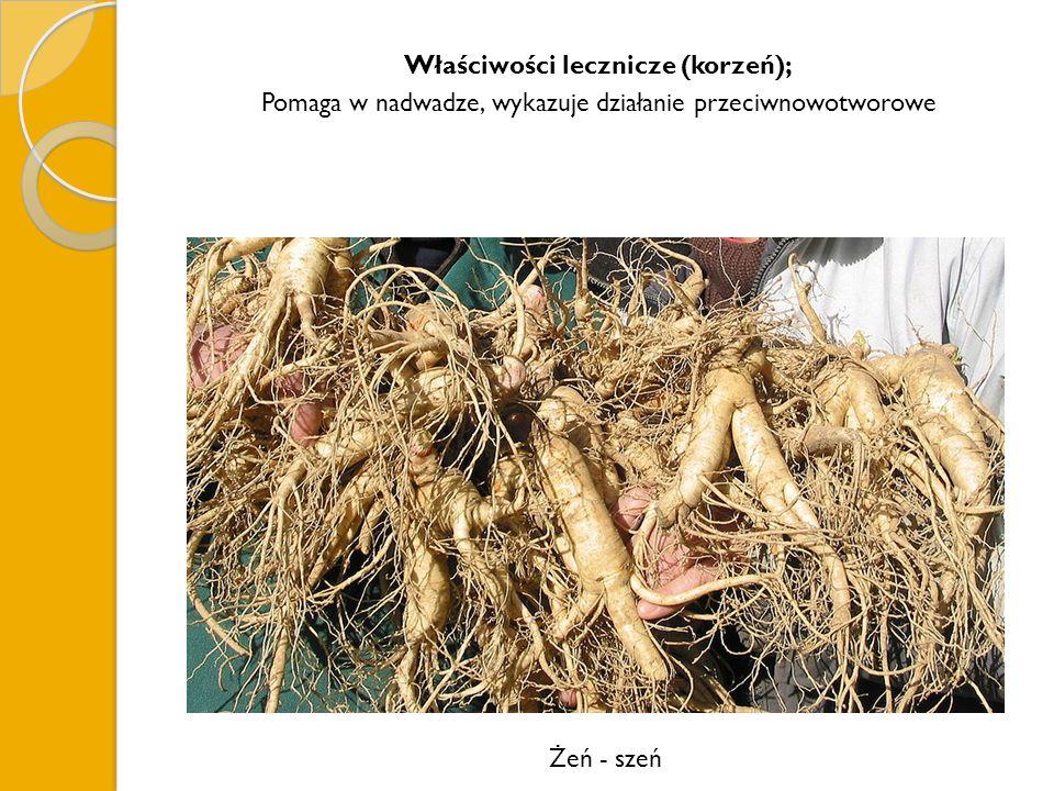 Właściwości lecznicze (korzeń); Pomaga w nadwadze, wykazuje działanie przeciwnowotworowe Żeń - szeń