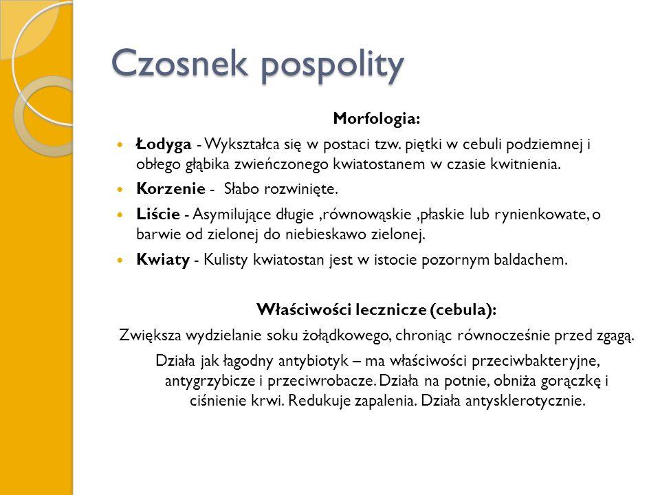 Czosnek pospolity Morfologia: Łodyga - Wykształca się w postaci tzw. piętki w cebuli podziemnej i obłego głąbika zwieńczonego kwiatostanem w czasie kw