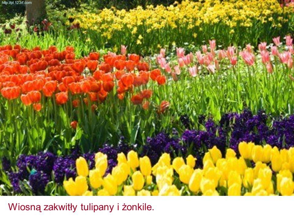 Wiosną zakwitły tulipany i żonkile. http://pl.123rf.com
