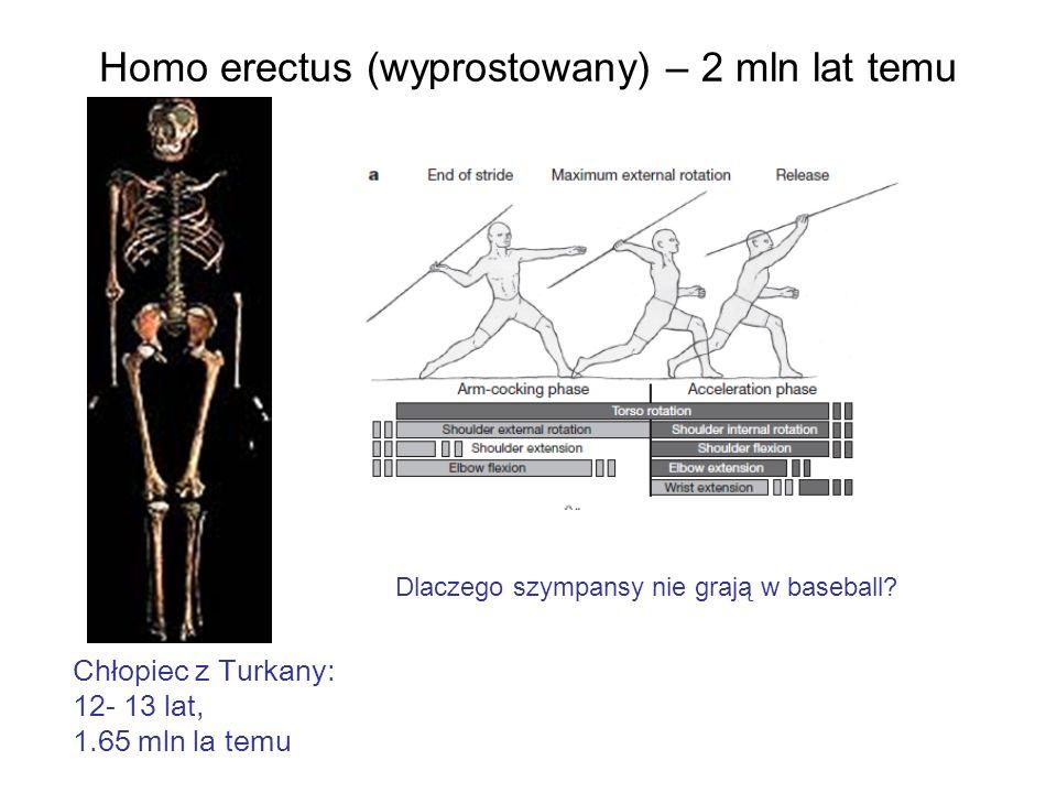 Homo erectus (wyprostowany) – 2 mln lat temu Chłopiec z Turkany: 12- 13 lat, 1.65 mln la temu Dlaczego szympansy nie grają w baseball