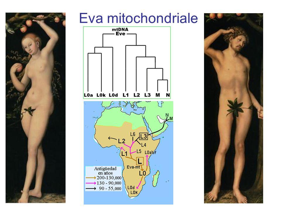 Eva mitochondriale