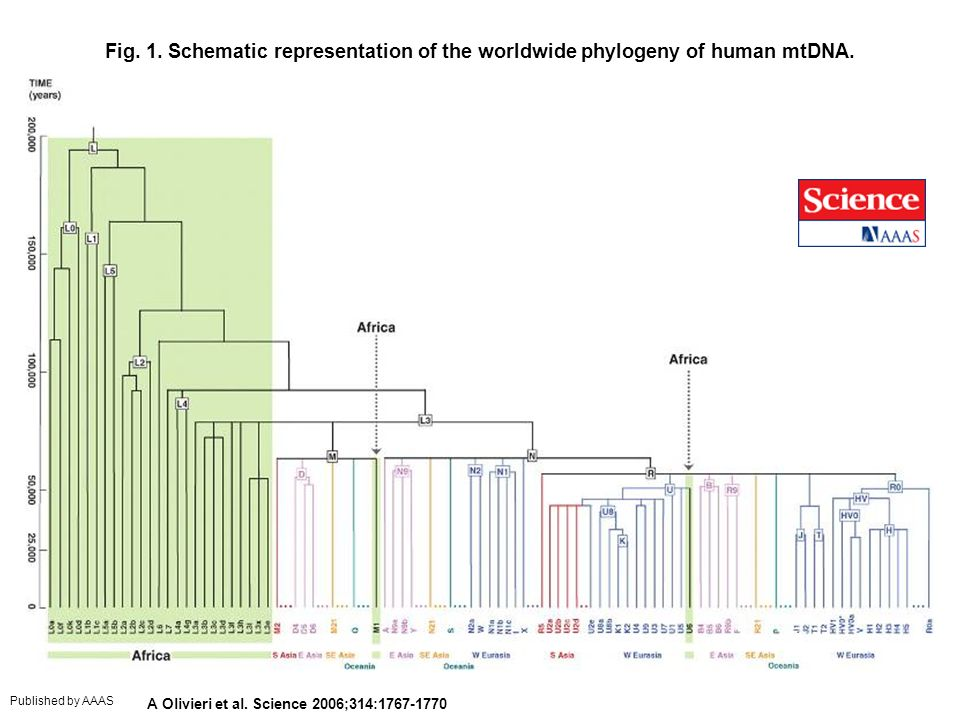 Fig. 1. Schematic representation of the worldwide phylogeny of human mtDNA.