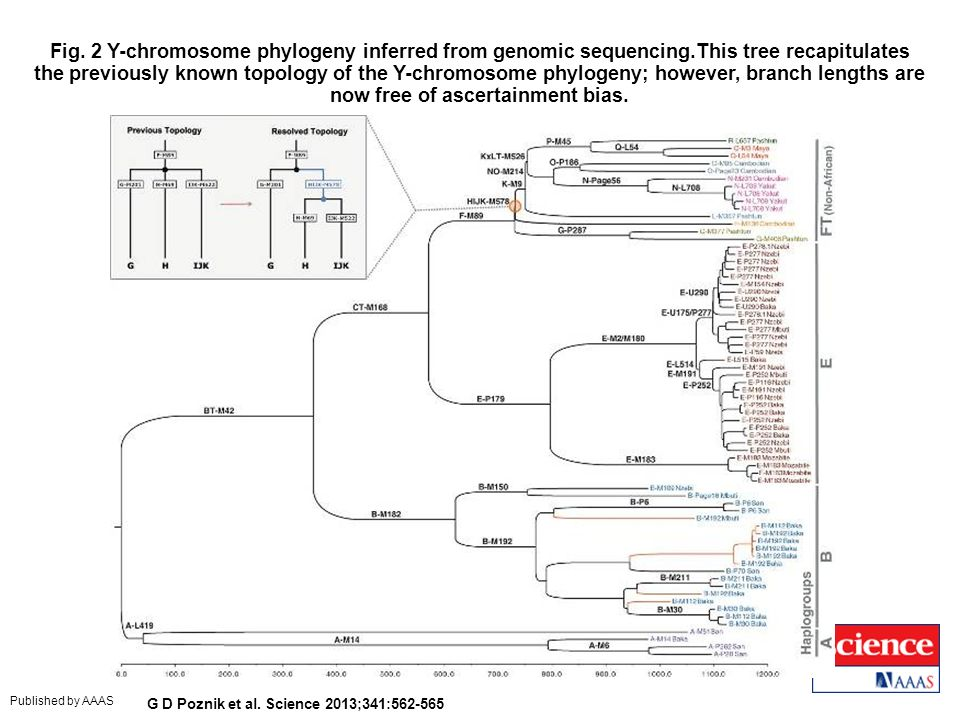 Fig. 2 Y-chromosome phylogeny inferred from genomic sequencing.This tree recapitulates the previously known topology of the Y-chromosome phylogeny; ho