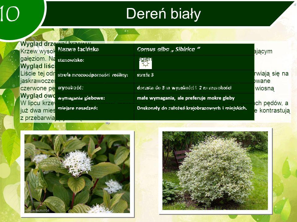 """Dereń biały 10 Nazwa łacińskaCornus alba """" Sibirica '' stanowisko: strefa mrozoodporności rośliny:strefa 3 wysokość: dorasta do 3 m wysokości i 2 m szerokości wymagania glebowe:małe wymagania, ale preferuje mokre gleby miejsce nasadzeń:Doskonały do założeń krajobrazowych i miejskich."""