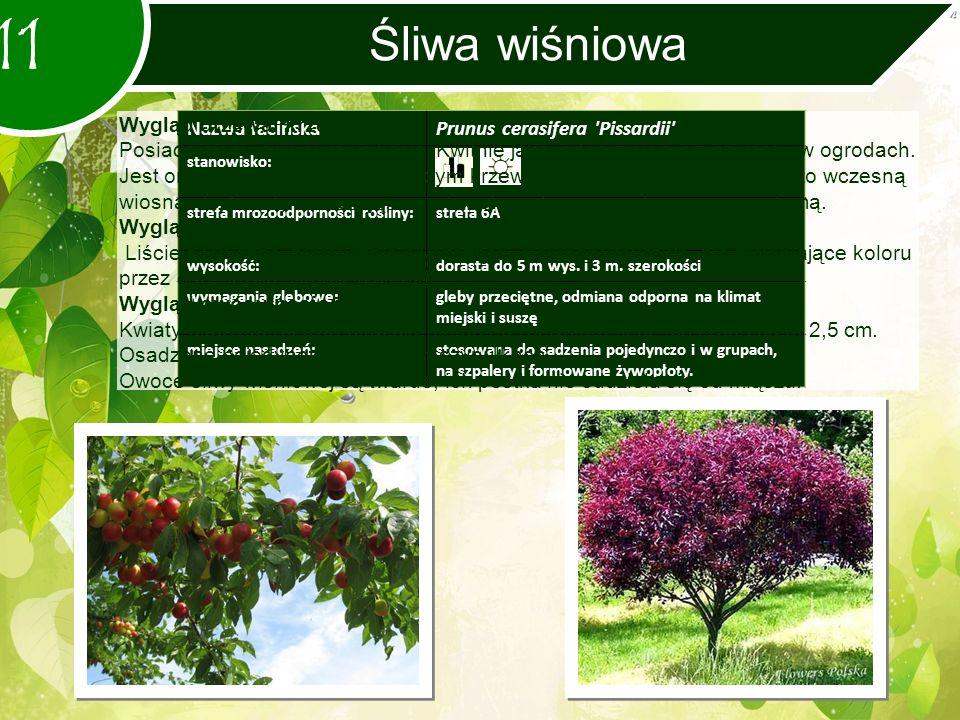 11 Śliwa wiśniowa Nazwa łacińskaPrunus cerasifera Pissardii stanowisko: strefa mrozoodporności rośliny:strefa 6A wysokość:dorasta do 5 m wys.