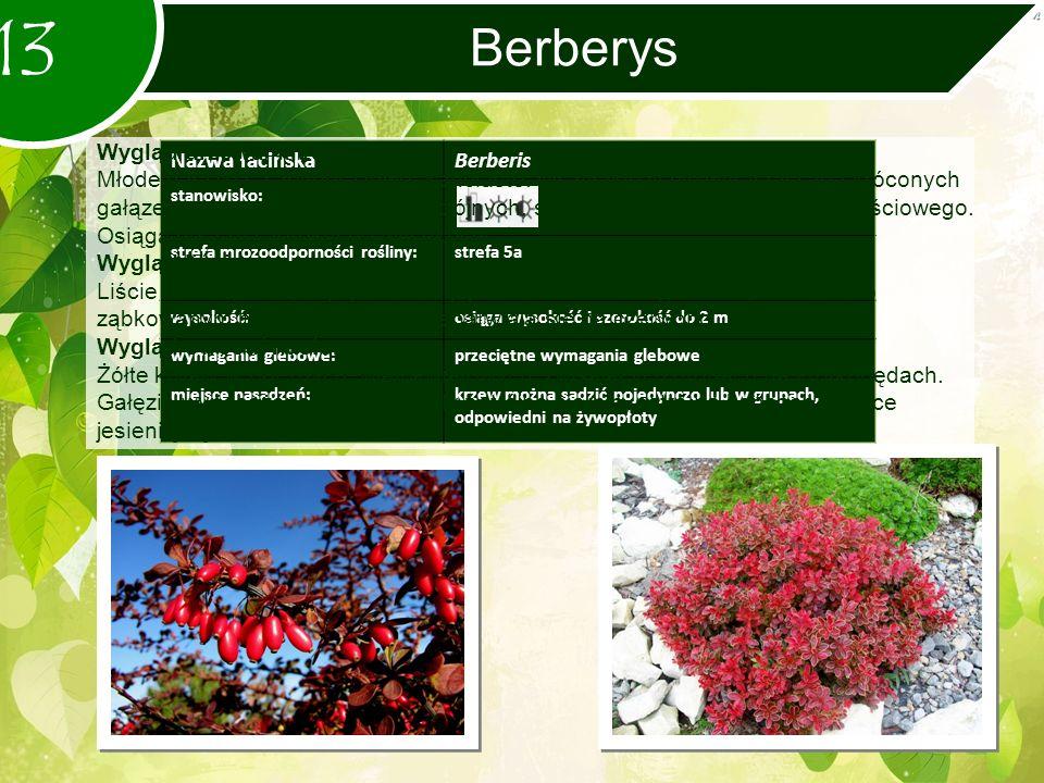 Berberys 13 Nazwa łacińskaBerberis stanowisko: strefa mrozoodporności rośliny:strefa 5a wysokość:osiąga wysokość i szerokość do 2 m wymagania glebowe:przeciętne wymagania glebowe miejsce nasadzeń:krzew można sadzić pojedynczo lub w grupach, odpowiedni na żywopłoty Wygląd drzewa/ krzewu: Młode gałązki są żółtobrązowe, kanciaste.
