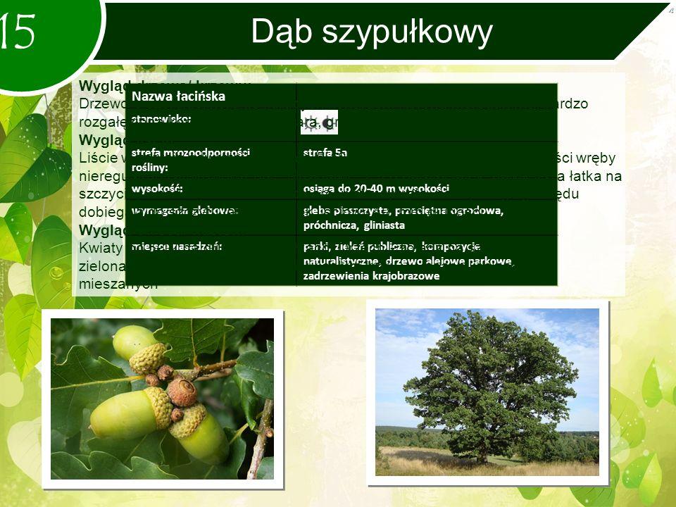 Dąb szypułkowy 15 Nazwa łacińska stanowisko: strefa mrozoodporności rośliny: strefa 5a wysokość:osiąga do 20-40 m wysokości wymagania glebowe:gleba piaszczysta, przeciętna ogrodowa, próchnicza, gliniasta miejsce nasadzeń:parki, zieleń publiczna, kompozycje naturalistyczne, drzewo alejowe parkowe, zadrzewienia krajobrazowe Wygląd drzewa/ krzewu: Drzewo o szerokiej koronie i grubych konarach.