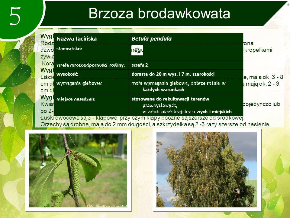 5 Brzoza brodawkowata Nazwa łacińskaBetula pendula stanowisko: strefa mrozoodporności rośliny:strefa 2 wysokość:dorasta do 20 m wys.