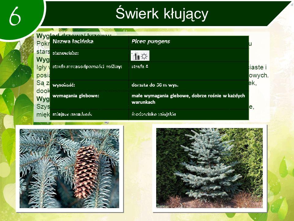 6 Świerk kłujący Nazwa łacińskaPicea pungens stanowisko: strefa mrozoodporności rośliny:strefa 4 wysokość:dorasta do 30 m wys.