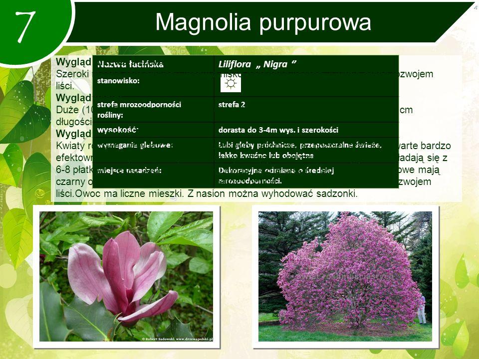 """7 Magnolia purpurowa Nazwa łacińskaLiliflora """" Nigra '' stanowisko: strefa mrozoodporności rośliny: strefa 2 wysokość: dorasta do 3-4m wys."""