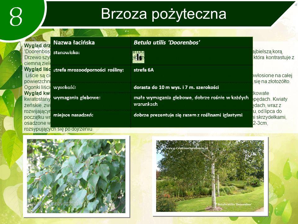 8 Brzoza pożyteczna Nazwa łacińskaBetula utilis Doorenbos stanowisko: strefa mrozoodporności rośliny:strefa 6A wysokość:dorasta do 10 m wys.