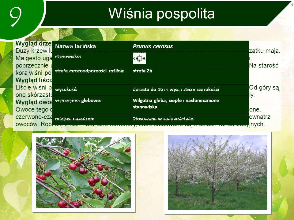 9 Wiśnia pospolita Nazwa łacińskaPrunus cerasus stanowisko: strefa mrozoodporności rośliny:strefa 2b wysokość:dorasta do 10 m wys.