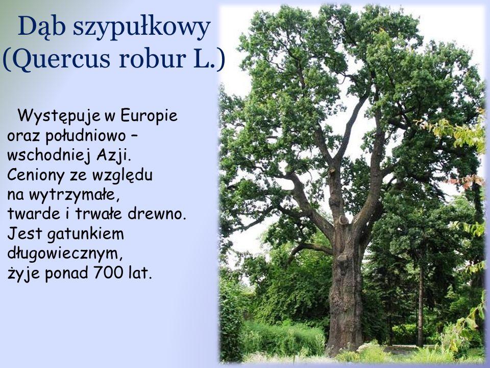 Dąb szypułkowy (Quercus robur L.) Występuje w Europie oraz południowo – wschodniej Azji. Ceniony ze względu na wytrzymałe, twarde i trwałe drewno. Jes