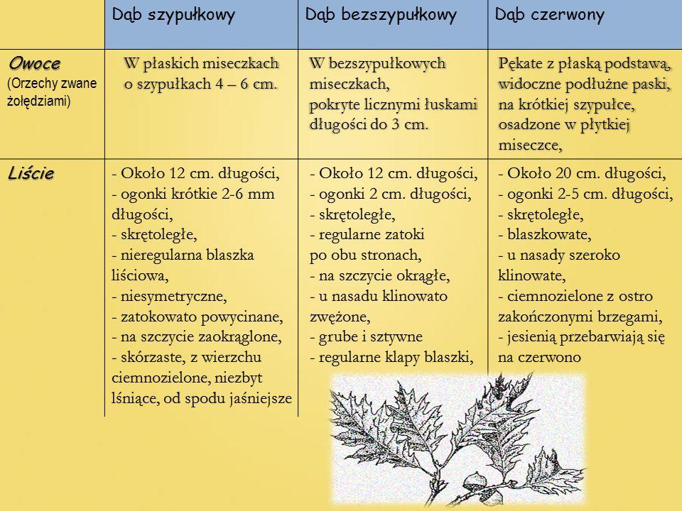 Dąb szypułkowyDąb bezszypułkowyDąb czerwonyOwoce (Orzechy zwane żołędziami) W płaskich miseczkach o szypułkach 4 – 6 cm. W bezszypułkowych miseczkach,