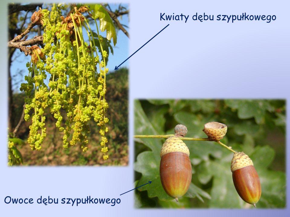 Kwiaty dębu szypułkowego Owoce dębu szypułkowego