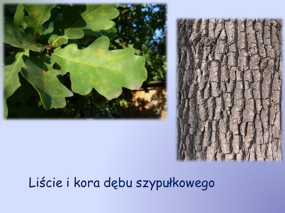 Dąb bezszypułkowy (Quercus petraea Liebl.) Występuje w Europie Środkowej, Irlandii, Wielkiej Brytanii, południowej Skandynawii, aż po tereny Włoch i Bułgarii.