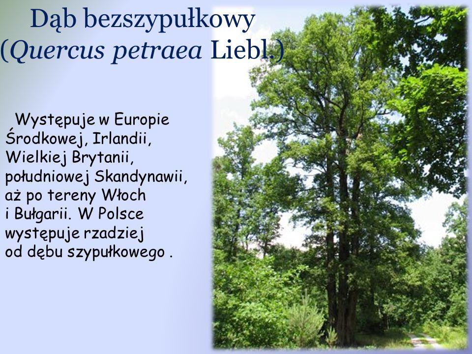 Dąb bezszypułkowy (Quercus petraea Liebl.) Występuje w Europie Środkowej, Irlandii, Wielkiej Brytanii, południowej Skandynawii, aż po tereny Włoch i B